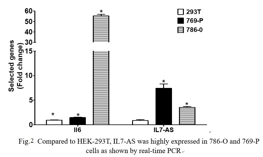 Fig. 2 Compared to HEK-293T, IL7-AS was highly expressed in 786-O and 769-P cells as shown by real-time PCR